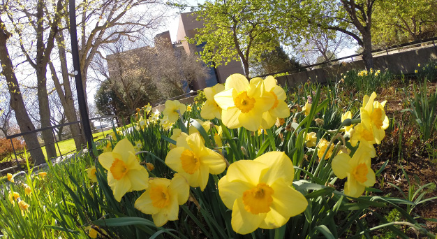 Daffodils in front of the Cofrin Library