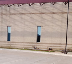 Turkeys at entrance of MAC Hall, June 24, 2013