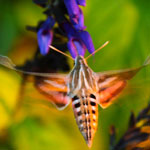 Hummingbird Moth, Sept. 2013