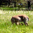 UW-Green Bay, doe and newborn fawn, June 2014