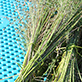 Harvesting flax, University Union plaza, UW-Green Bay, September 2014
