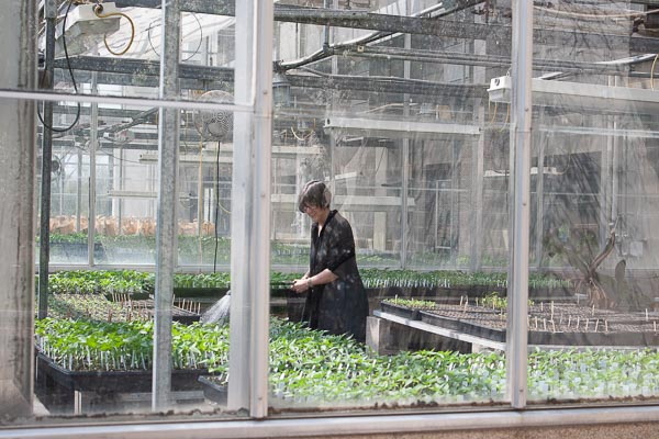 Vicki Medland working inside the UW-Green Bay Lab Sciences greenhouse.